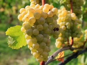 Белый виноград для вина